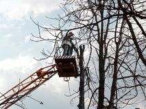 A man with a chainsaw stands on an aerial work platform and looks at a pollarded tree trunk. The concept of caring for tall trees. A men with a chainsaw stands royalty free stock photo