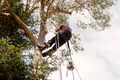 Man and chainsaw swinging in tree Stock Image