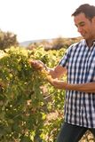 A man in a checkered shirt in the vineyards. Looks at the new grapes and smiles Royalty Free Stock Photo