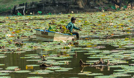 A man is clearing weeds from a great lotus pond Stock Photography