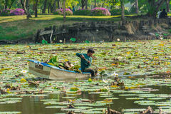 A man is clearing weeds from a great lotus pond Stock Photos