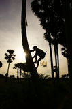 Man climb palm tree. Silhouette of a man climb palm tree at sunset at countryside Stock Photos