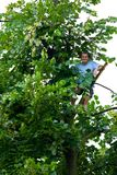 Man climbed in a tilia tree Stock Image