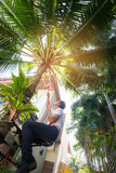 Man climbing coconut palm tree. Stock Photography