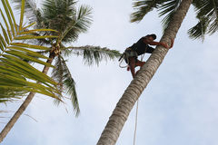 Man climbing coconut tree. Man climbing coconut tree to harvest in the garden with sunrise background on the beach Stock Photography