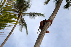 Man climbing coconut tree. Man climbing coconut tree to harvest in the garden with sunrise background on the beach Royalty Free Stock Images