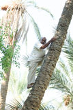 Man climbing on date palm tree in oasis Royalty Free Stock Images