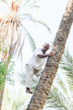 Man climbing on date palm tree Royalty Free Stock Photography