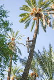 Man climbing on palm tree at oasis Stock Photography