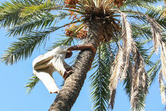 Man climbing on palm tree in oasis Stock Photo