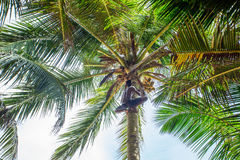 Man climbing a palm tree of Sri Lanka Stock Images