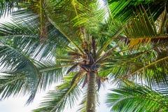 Man climbing a palm tree of Sri Lanka Royalty Free Stock Images