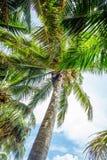 Man climbing a palm tree of Sri Lanka Stock Photo