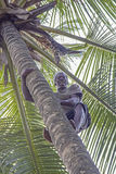 Man climbing palm tree to gather the ripe coconuts Stock Image