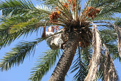 Man climbing on palm tree Stock Photo