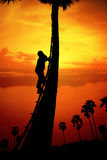 Man climbing a sugar palm tree Stock Photography