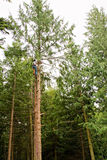 Man climbing a tall tree Royalty Free Stock Photography