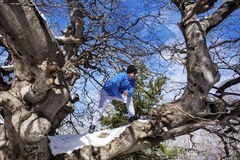 Man climbing a venerable tree Royalty Free Stock Images
