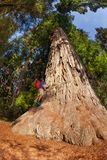 Man climbs on big tree in Redwood California Stock Image