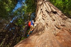Man climbs on big tree in Redwood California Royalty Free Stock Photos
