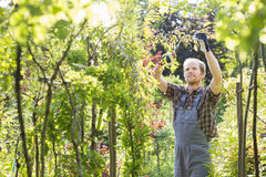Man clipping branch in garden Stock Image