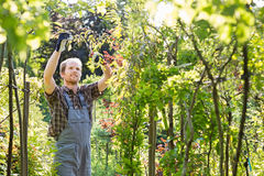 Man clipping branch in garden Royalty Free Stock Images