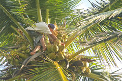 Man Coconut Harvesting. A man cutting cocoanuts as part of the cocoanut harvest, Cabarete, Dominican Republic. He is high up the tree, taken from a low angle Royalty Free Stock Photos
