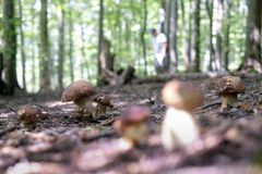 Man collect mushrooms. In summer forest stock photos