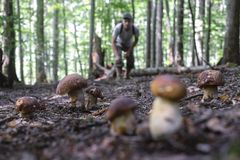 Man collect mushrooms. In summer forest stock images