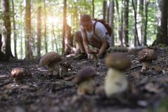 Man collect mushrooms. In summer forest stock photo