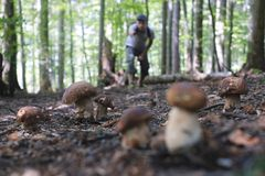 Man collect mushrooms. In summer forest royalty free stock photos