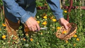 Man collecting calendula blooms, 4K stock footage