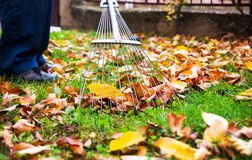 Man collecting fallen autumn leaves in the yard. Man collecting fallen autumn leaves in the home yard stock image