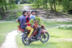 3 man collecting lychees from a tree at ranisonkoil, thakurgoan, Bangladesh. The Lychee is a fresh small fruit having whitish pulp with fragrant flavor. The royalty free stock photo