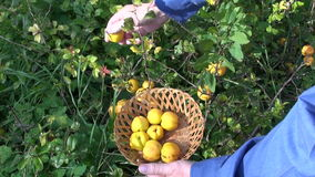 Man collecting quince in wicker basket stock video