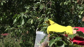 Man collecting rotten pears of the tree, 4K. Gardener wearing yellow rubber gloves and red shirt collecting rotten pears from the tree into plastic bucket on stock footage