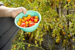 Man collecting an yellow and red tomatoes on the huge garden stock photo