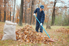A man collects in a grove of leaves Stock Images