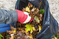 Man collects leaves in the fall Stock Images