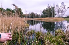 A man comes to the lake. The man is pushing the reed. Presence in the frame. In the forest near the swamp royalty free stock images