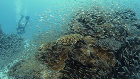A man by a coral reef and school of fish. A wide shot of a coral reef being inhabited by a school of fish. A diver swims by it stock video footage