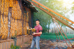 Man with corn cobs in crates Royalty Free Stock Photo