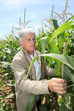 Man in corn field Stock Photo