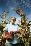 Man in corn field. Mature man in a corn field holding an apple basket. He looking far away. Nice day during autumn Stock Photography