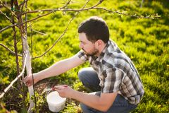 Whitewash of the tree trunk, man working in the garden. stock photos
