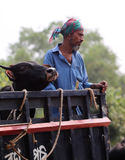 Man and cow together on a vehicle Royalty Free Stock Photos
