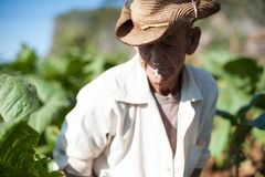 Man working at Tobacco Farm royalty free stock images