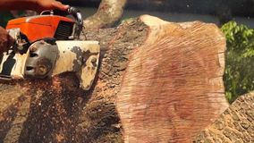 Man cross cut huge tree trunk with chainsaw stock video