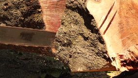Man cross cut huge tree trunk with chainsaw stock video footage