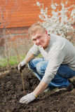 Man cultivates raspberry seedlings. The man cultivates raspberry seedlings in spring Royalty Free Stock Photos